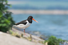Eurasian oystercatcher Royalty Free Stock Photography