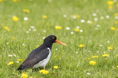 Eurasian oystercatcher Haematopus ostralegus perched in a gree Royalty Free Stock Photos
