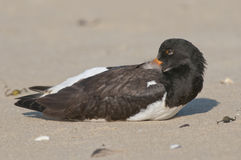 Eurasian Oystercatcher Stock Photography