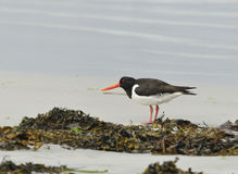 Eurasian Oystercatcher Royalty Free Stock Photos