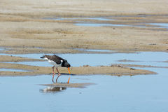 Eurasian oystercatcher Royalty Free Stock Photo