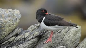 Eurasian oystercatcher stock video