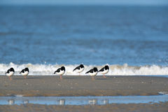 Eurasian Oystercatcher in the sea Royalty Free Stock Images