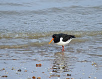 Eurasian Oystercatcher on Shoreline Stock Photos