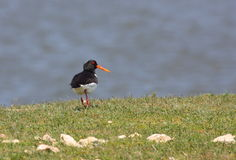 Eurasian oystercatcher walking stock image