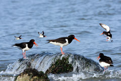 Eurasian oystercatchers Stock Photography