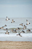 Eurasian Oystercatchers Royalty Free Stock Photos