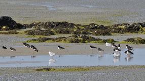 Eurasian Oystercatchers Stock Image
