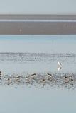 Eurasian oystercatchers Stock Photo