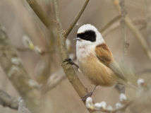Eurasian Penduline Tit. On branch Royalty Free Stock Image