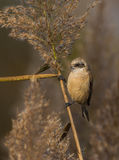 Eurasian Penduline Tit on reed Stock Photos