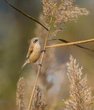 Eurasian Penduline Tit on reed Stock Image