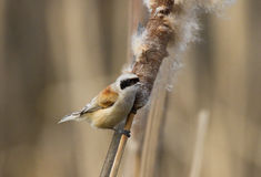 Eurasian Penduline Tit. On reedmace Royalty Free Stock Photos