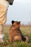 Eurasian puppy looks up Stock Photography