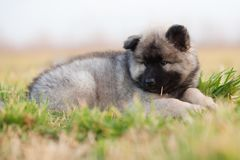Eurasian puppy lying in the grass Royalty Free Stock Photography
