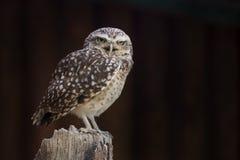 Eurasian Pygmy-owl Royalty Free Stock Photo