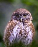 Eurasian Pygmy Owl royalty free stock photo