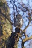 Eurasian pygmy owl Glaucidium passerinum stock photos