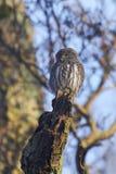 Eurasian pygmy owl Glaucidium passerinum royalty free stock photo