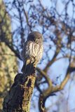 Eurasian pygmy owl Glaucidium passerinum royalty free stock photos