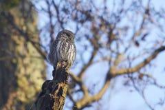 Eurasian pygmy owl Glaucidium passerinum stock images