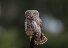 Eurasian Pygmy Owl - Glaucidium passerinum Stock Image