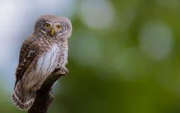 Eurasian Pygmy Owl - Glaucidium passerinum - male Royalty Free Stock Photography