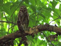 Eurasian pygmy owl (Glaucidium passerinum) with mouse Stock Images