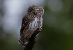 Eurasian Pygmy Owl - Glaucidium passerinum. At a pine tree forest Stock Images