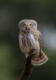 Eurasian Pygmy Owl - Glaucidium passerinum. At a pinetree forest royalty free stock image