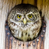 Eurasian pygmy owl Stock Images