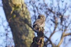 Eurasian pygmy owl Glaucidium passerinum royalty free stock images