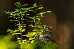 Eurasian pygmy owl Royalty Free Stock Images
