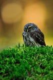 Eurasian pygmy owl Royalty Free Stock Image