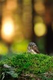 Eurasian pygmy owl Stock Image