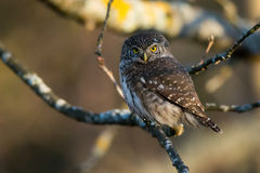 Eurasian Pygmy Owl Royalty Free Stock Photo