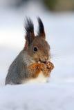 The Eurasian red sguirrel & x28;Sciurus vulgaris& x29; sit. The red squirrel or Eurasian red sguirrel & x28;Sciurus vulgaris& x29; sitting on the snow with the Royalty Free Stock Images