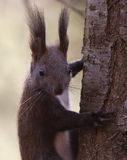 Eurasian red squirrel Royalty Free Stock Images