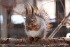 Eurasian red squirrel. Sitting on the branch in the cage Royalty Free Stock Photography