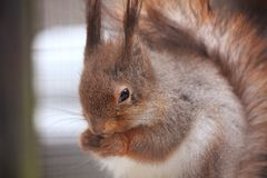 Eurasian red squirrel. Sitting on the branch in the cage Stock Photo