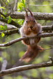 Eurasian red squirrel eating and looking into the camera Royalty Free Stock Photos