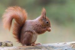 Eurasian red squirrel Stock Photos