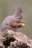 Eurasian red squirrel. Eating a piece of an apple stock images