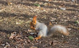 Eurasian red squirrel found walnut Stock Images