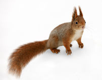 Eurasian red squirrel in front of a white background Stock Images