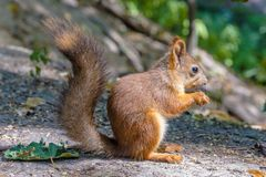 Eurasian red squirrel Stock Images