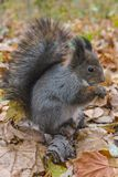 Eurasian red squirrel Stock Photo