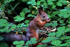 Eurasian red squirrel gnaws nuts. Ordinary Squirrel is the genus of rodents of the squirrel family. Eurasian red squirrel gnaws nuts. Ordinary Squirrel lat stock photos
