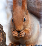 Eurasian red squirrel gnaws sunflower seeds. Portrait close Royalty Free Stock Photos