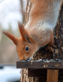 Eurasian red squirrel gnaws sunflower seeds Royalty Free Stock Photos